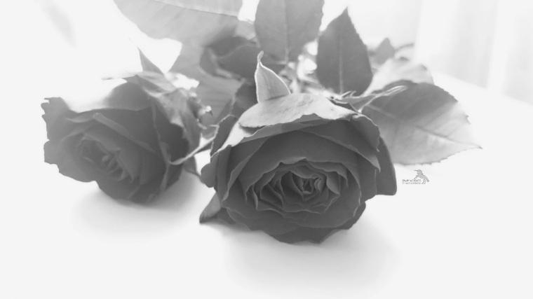 Rosen_schwarzweiß
